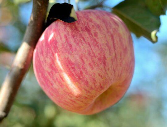 想吃红富士苹果得找我了!_商家活动圈