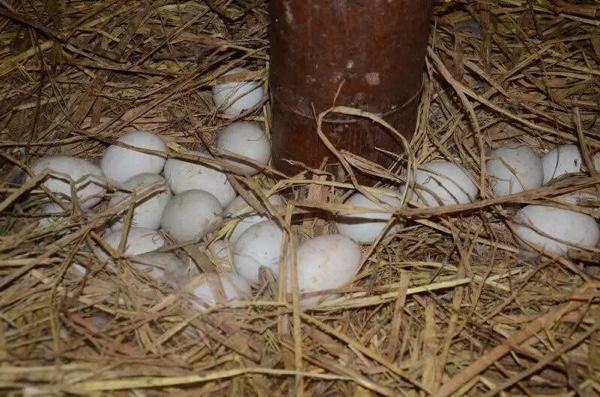 孕妈,宝妈,我家住小海边,<em>有海</em>鸭蛋,可有需要_宁