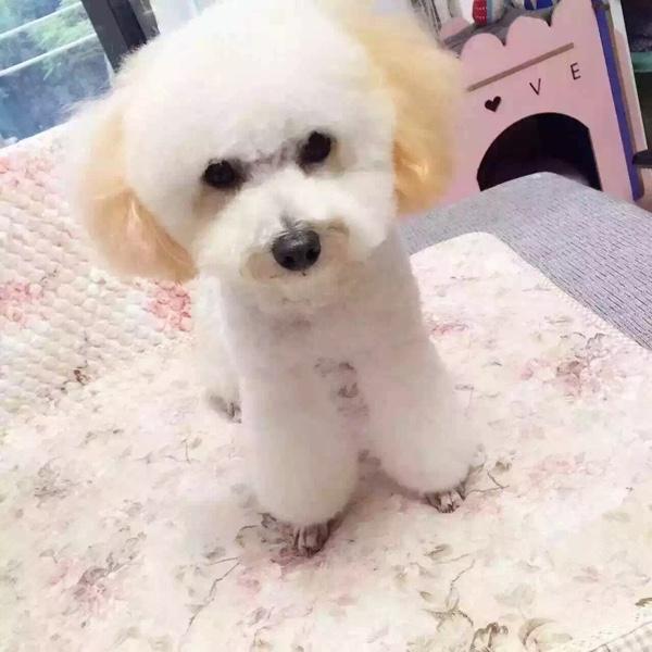 今天给狗狗也来个美美哒情缘_宠物短发圈-妈一刀齐耳发型图片