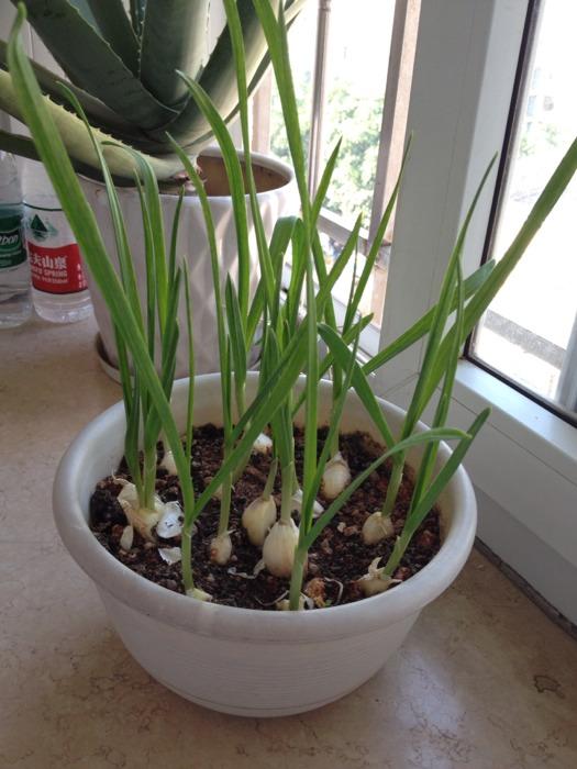 种大蒜的生长过程图片_种大蒜的生长过程