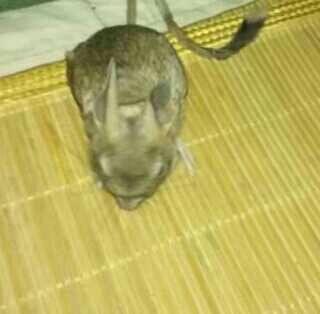 鼻子,兔耳朵,袋鼠腿 长尾巴,猜猜这是什么动物