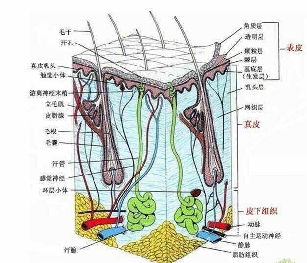 下面是一个眼部肌肤结构图它