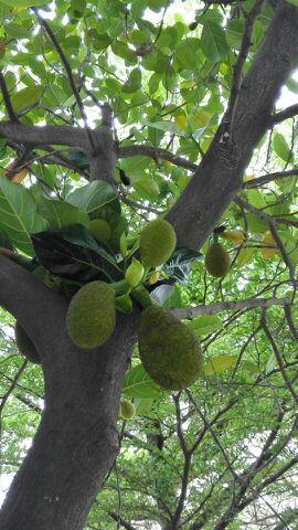 知道菠萝蜜树长什么样吗?