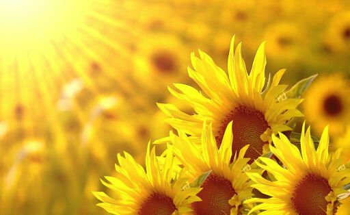 做像向日葵般温暖的女子.早安