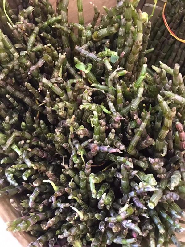 铁皮鲜石斛榨汁