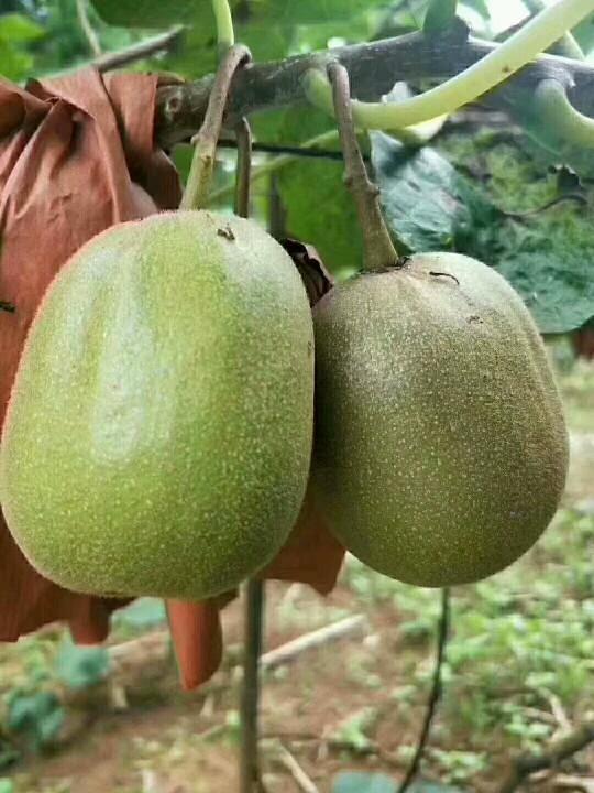 父母自己种的猕猴桃成熟了,个大味甜,怀孕多吃猕猴桃